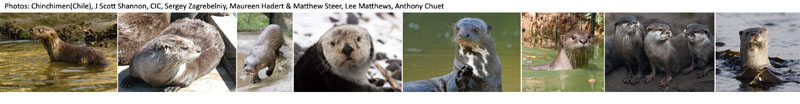 Otter Species-2