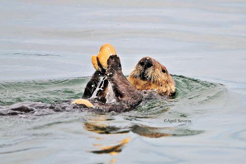 Sea Otter - April Severin
