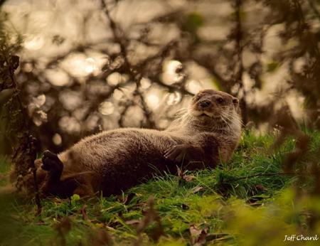 Otter Oscar - David Chard